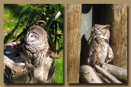 Homosassa Owl Composite