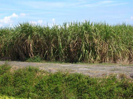 Sugar Cane-7