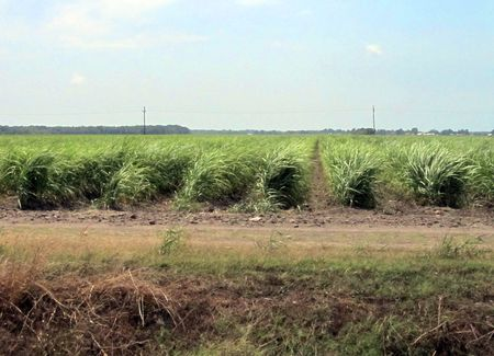 Sugarcane_0036