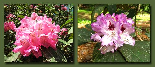 Rhododendron Composite