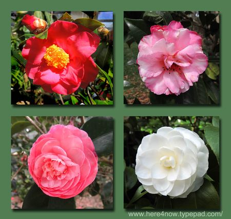 Bok Camellia Composite