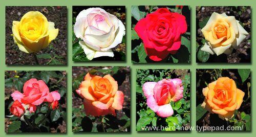 Memphis Roses