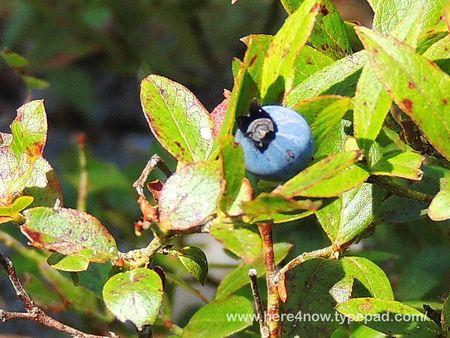 Blueberry_0031