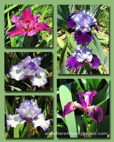 Memphis Iris
