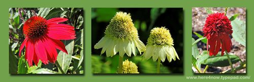 Echinacea Composite