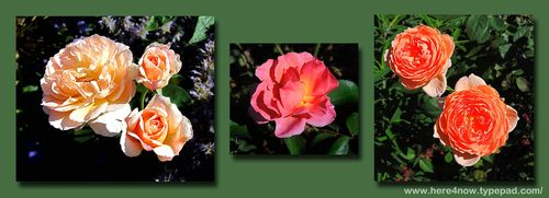Blithewold Rose Composite