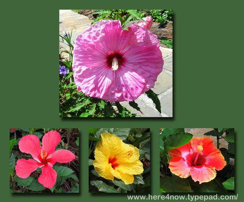 Bellingrath Hibiscus