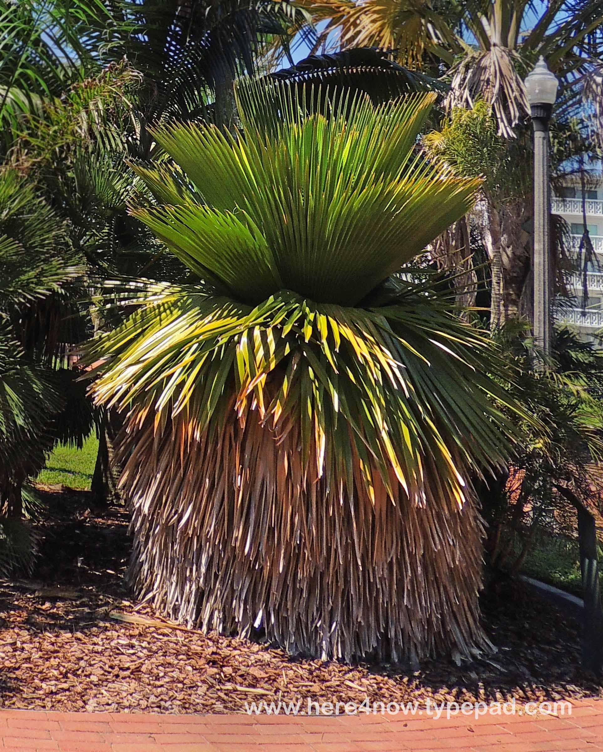 Living Our Dream: Gizella Kopsick Palm Arboretum
