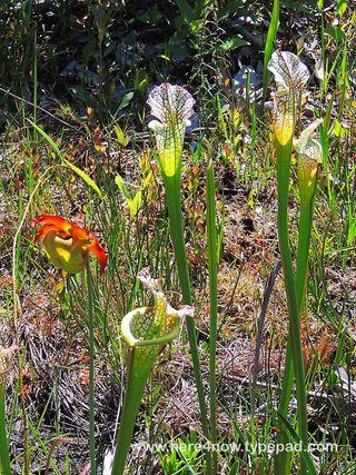 Pitcher Plant Bog_0024