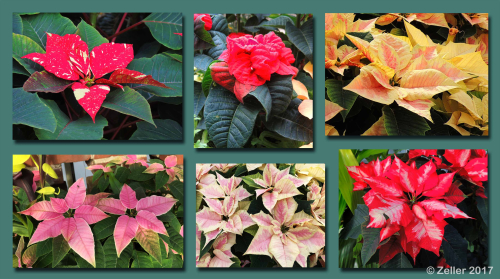 Poinsettia Composite