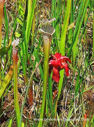 Pitcher Plant Bog_0006