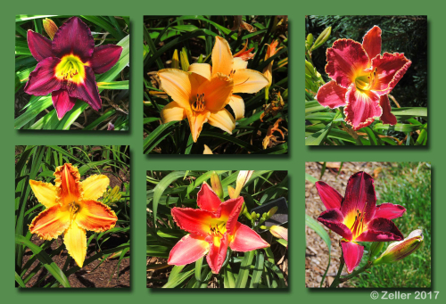 Daylily Composite