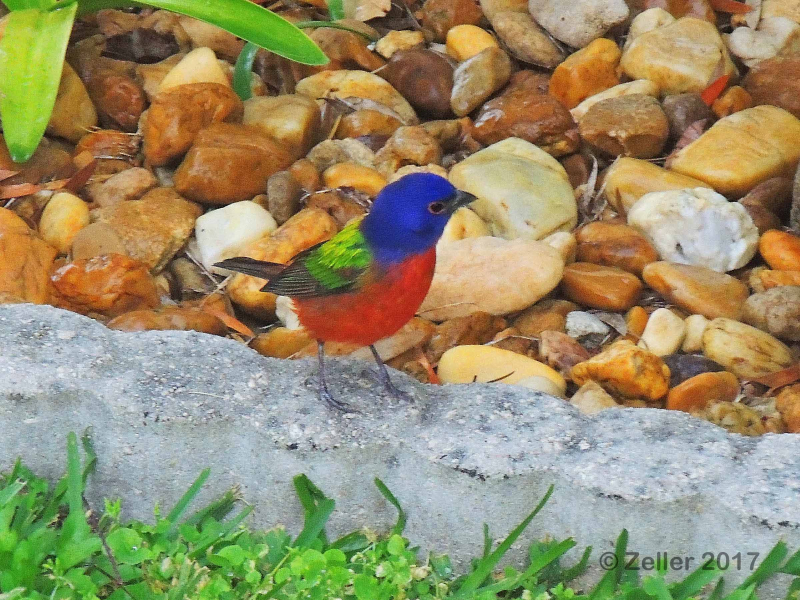 Painted Bunting_0005