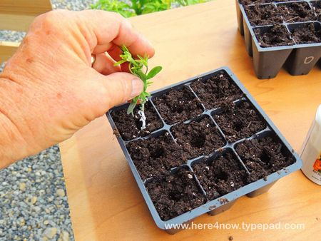 Rooting Cuttings_0003