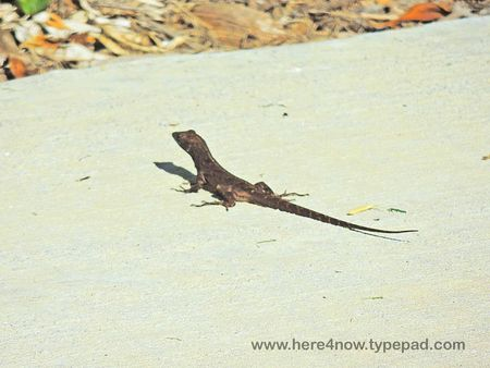 Brown Anole_0008