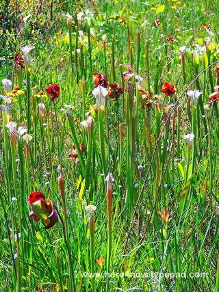 Pitcher Plant Bog_0027