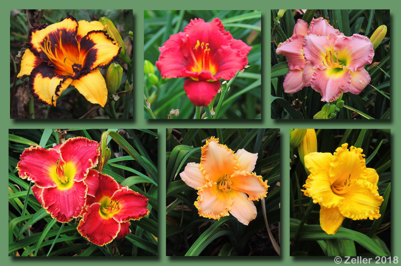 Kingwood Daylily Composite