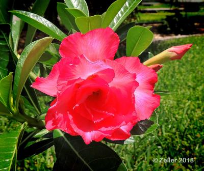 Desert Rose_0009