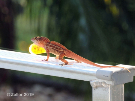 Anole_0002