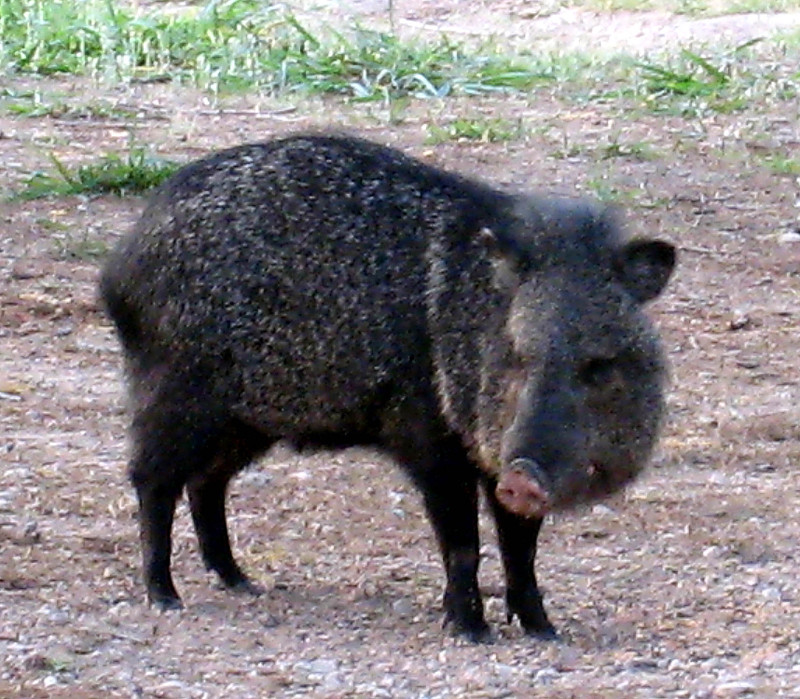 Bentsen_palm_sp_javalina_1_copy